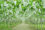 Non Woven Fruit Protection Cover - Vishal Synthetics
